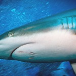 Simon Theuma - Grey Reef Shark